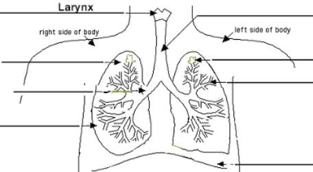 Ib biology topic5 humans draw a diagram of the ventilation system including trachea bronchi bronchioles and lungs add ribs and intercostals muscles to the diagram below ccuart Gallery